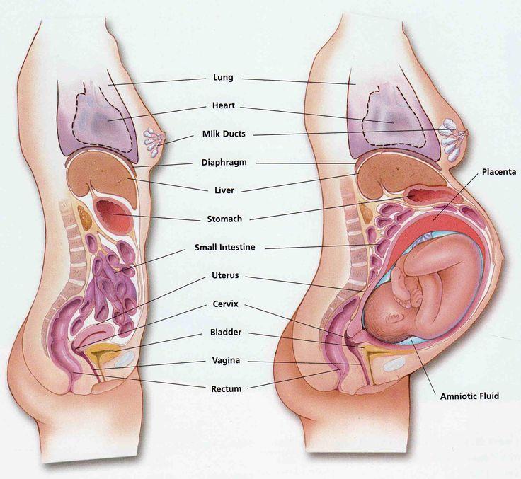 Tverrsnitt gravid kropp